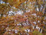 Japanese Maple in early November.