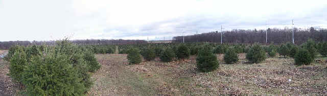 A three photo panorama of a nearby Christmas Tree farm.